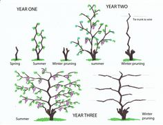 grape vine information