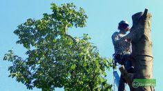 Einen Baum fachgerecht zu entfernen ist oft gar nicht so leicht. In vielen Fällen muss der Baum langsam abgetragen werden, da nicht genug Platz vorhanden ist um den Baum im ganzen zu fällen. Hier kommen in den meisten Fällen Baumkletterer zum Einsatz.  #Baumpflege #Baumfällung #Baum #Fällarbeiten #Baumkletterer #Risikobaumfällung #Baumschutz