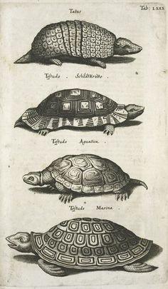 John Jonson| Historiae naturalis de quadrupetibus libri | Tatus, Testudo Schildtkrötte, Testudo Aguatica, Testudo Marina (1655)