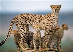 Cheetahs, Tanzania http://africatriedandtested.com/
