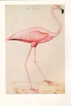 Pink Flamingo Vintage Bird Illustration Wall Art Print by AgedPage,