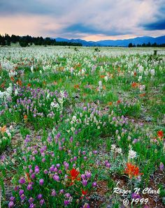 wildflowers in the Colorado mountains
