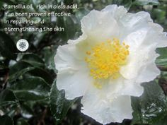 one of my favorites in my backyard and in my products :) Camellia Oil, Skin Care Tips, Essential Oils, Backyard, Organic, Pure Products, Skin Tips, Patio, Backyards