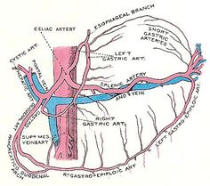celiac artery and its branches                                                                                                                                                                                 More