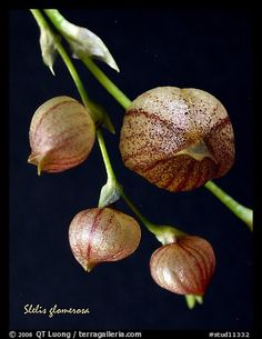 Picture/Photo: Stelis glomerosa. A species orchid