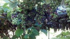 Grapes growing in a neighboring plot at the Community Garden
