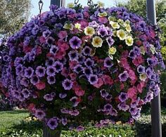 How to Care For Hanging Petunia Baskets | Garden Guides  (this will ltake a commitment - this year I am determined to get oen through the summer looking like this)