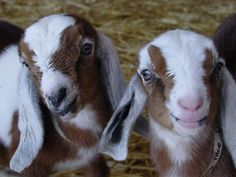 #goatvet likes these 2 Nubian kids from a US commercial goat dairy farm