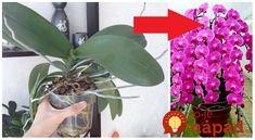 Orchidey so mnou doma žijú už nejaký ten rok. Keď som dostala svoju prvú rastlinku pred asi 17 rokmi, moja zbierka rokmi poriadne rozrástla a dnes ich mám plné parapety. Poradím, ako to robím ja, aby mi orchidey krásne kvitli čo najčastejšie. Verím, že vám to bude nápomocné! Žanet V. Keď prestane kvitnúť, najskôr pozorujte,... Plants, Gardening, Orchids, Lawn And Garden, Plant, Planets, Horticulture