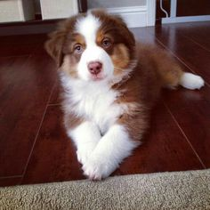 More About The Work-Oriented Australian Shepherd Pups Exercise Needs Aussie Puppies, Cute Dogs And Puppies, I Love Dogs, Pet Dogs, Doggies, Corgi Puppies, Husky Puppy, Weiner Dogs, Beautiful Dogs