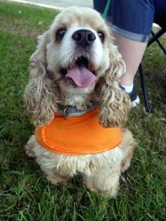 Petango.com – Meet Toby 08/25/2014, a 5 years 4 months Spaniel, American Cocker available for adoption in BATON ROUGE, LA
