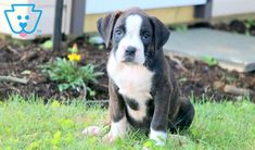 Bella | Boxer Puppy For Sale | Keystone Puppies