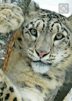 Snow leopard.  Beautiful.