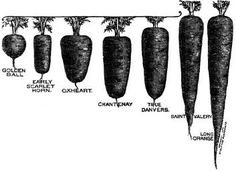 Heirloom Carrot Varieties   Learn all there is to know about planting, harvesting and saving heirloom carrot seeds as well as the cool history behind some of the rarest and oldest heirloom carrots.