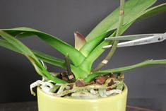 Learn about caring for orchid stems: when, why, and how to cut them back. plant, spike, green thumb, orchid care, repot orchid, repotting orchids, stem, garden, flower