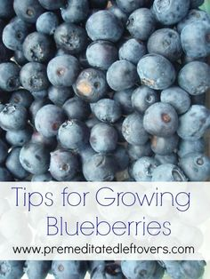 Tips for Growing Blueberries, including how to plant blueberries, how to grow blueberries in containers, and when to harvest blueberries.: