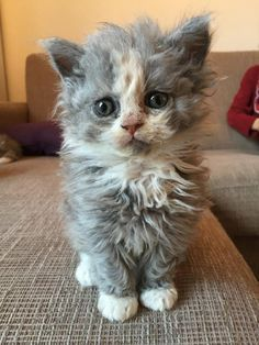 Selkirk Rex kitten - looks like he's been through the wash!