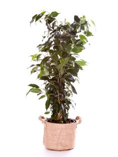 Ficus Benjamina 100/110cm Ficus, Deco Design, Decoration, Pots, Turquoise, Red, Green, Plants, Decor