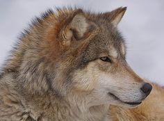 Timber Wolf by Diane Jensen