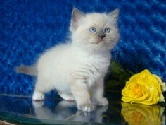 Vaughn Blue Mitted Male Ragdoll - Ragdoll Kitten for Sale - from www.RagdollKittens.com