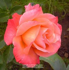 Pensioner's Voice - Floribunda, apricot blend, double, 1989, not yet rated by ARS.