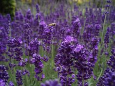 Whether you need extra protection for your garden or your skin, these herbs and flowers make great insect repellent.