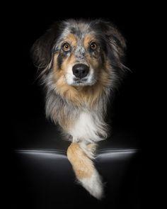 Border collie: Perfectos animales imperfectos, por Alex Cearns