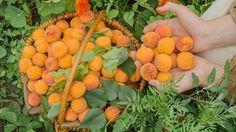 Toto sú TOP odrody ovocín do veterných a mrazových kotlín Pesto, Carrots, Fruit, Vegetables, Garden, Tops, The Fruit, Garten, Shell Tops
