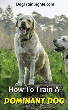 Do you want to learn how to train your dominant dog? Do you have a hard-to-control dog? Use our tips on how to train a dominant dog and you'll actually look forward to spending time with your dog again!