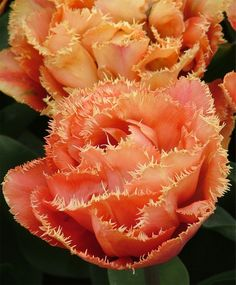 At first glance, it is difficult to identify this astounding bloom as a tulip~certainly, it could be a rose or a peony. The shape is exquisi...