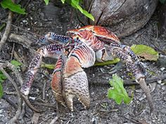One reason for the massive size of coconut crabs is that they continue to grow all through their lives – which can span 60 years! So the bigger a crab, the older it is. Although they are not the largest species of crab (there are bigger specimens in the ocean, with the Japanese spider crab the largest of all living arthropods), they are certainly the largest that live on land. Weird Creatures, Sea Creatures, Crawling Animals, Palmyra Atoll, Crab Species, Coconut Crab, Crab And Lobster, Carapace, List Of Animals