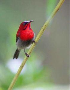 キゴシタイヨウチョウ Crimson sunbird (Aethopyga siparaja)