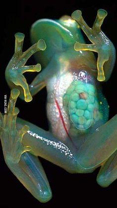 Transparent frog!