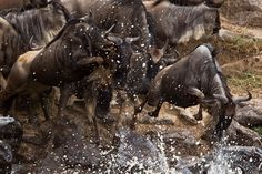 The Great Wildebeest Migration is the largest overland migration in the world