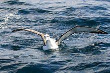 White-capped Albatross (8076884678).jpg