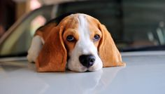 Beagle- The Eye Contact by Jyothy Das on 500px