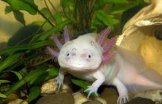 L'axolotl Décrit pour la première fois en 1798 Ce « poisson marcheur mexicain » est en fait… une salamandre. Contrairement aux autres membres de son espèce, l'axolotl conserve sa nageoire dorsale et ses branchies une fois adulte. C'est ce qu'on appelle la néoténie, c'est-à-dire demeurer à l'état larvaire sans métamorphose. Son super-pouvoir? La capacité de régénérer un organe détruit… allant jusqu'à l'œil ou une partie du cerveau.  On le retrouve dans le lac de Xochimilco, au Mexique.