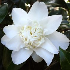 Camelia Mary Costa It's easy to find what you're looking for with our Plant A-Z, covering everything from Cornish plants to sub-tropical specimens that love mild climates.