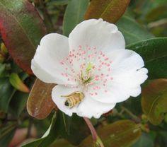 tasmanian leatherwood flowers - Google Search Australian Wildflowers, Australian Native Flowers, Australian Plants, Flora Flowers, Pretty Flowers, Wild Flowers, Romantic Images, How Lucky Am I, Tasmania