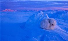 Arctic fox, Mireille de La Lez