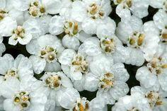 Achillea millefolium - yarrow - siankärsämö