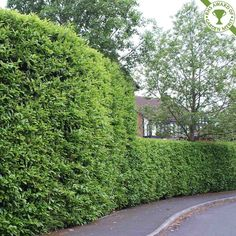 Image result for cherry laurel hedge