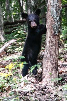 Shenandoah NP Virginia Black Bear Cub