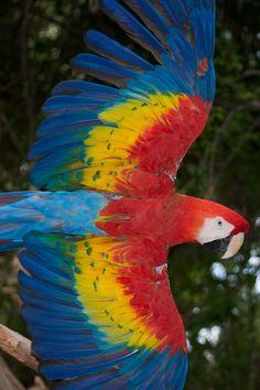 Sea cual sea su nombre Guacamaya, Lapa, Scarlet Macaw, hay que admitir que ilumina el cielo de Costa Rica!! - #JavitheFrog