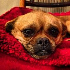 Napoleon is an adoptable Pekingese Dog in Charlotte, NC. Napoleon is a 4 year old pekingese/chihuahua mix. If you remember anything about 11th grade history, you might recall the story of Napoleon Bon...