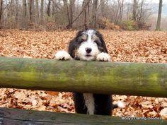 Past Bernedoodle Pups