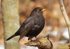 KOS černý Birds, Animals, Animales, Animaux, Bird, Animais, Animal