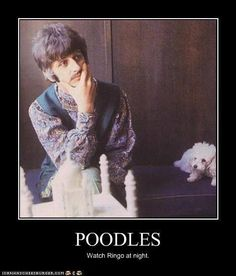 Poodle watching Ringo Star