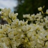 Lonicera pileata - Chèvrefeuille à cupule, un excellent couvre-sol Plantation, Perennials, Gardening, Ideas, Gardens, White Flowers, Normandie, Lawn And Garden, Thoughts