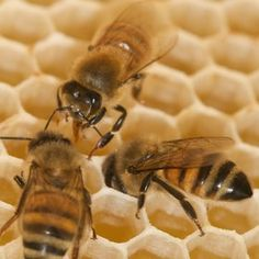 all honeybees are safe, healthy, and disease free. Pollination is safe from chemicals and other man made pollutants.